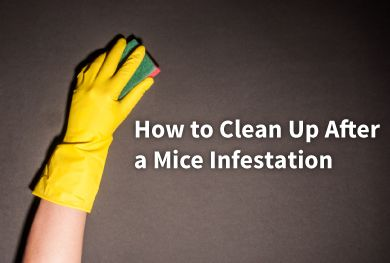 How to Clean Up After a Mouse Infestation