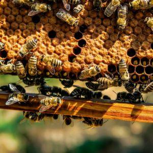 Eine Grazer Forschergruppe hat erstmals die Schwarmintelligenz junger Bienen untersucht und sie erfolgreich auf Roboter übertragen.