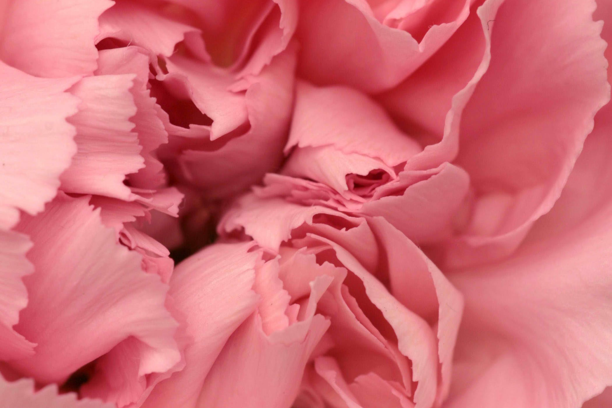 carnation poisoning in cats