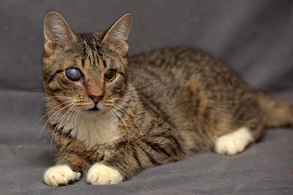 cloudy eye in cats