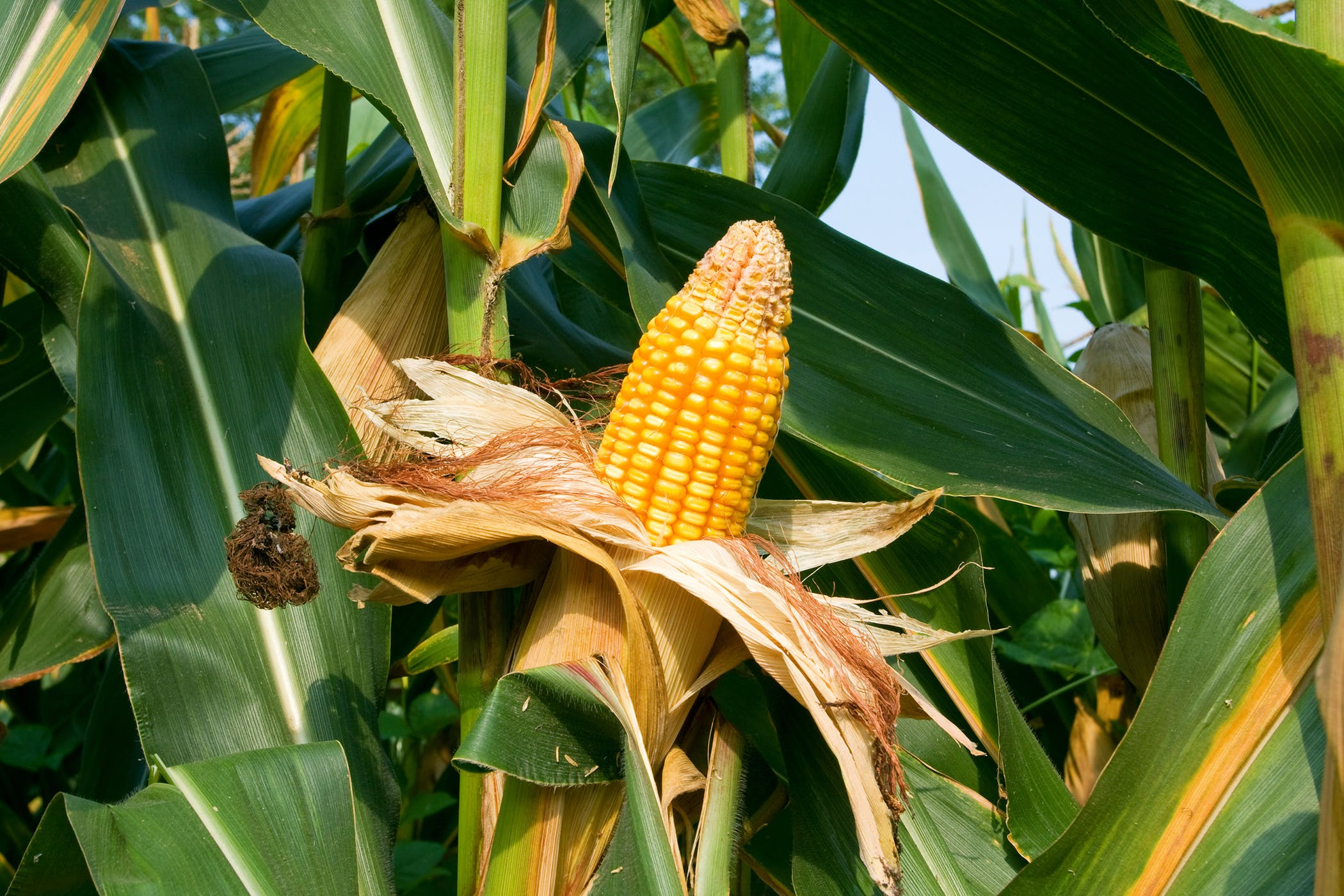 cornstalk plant poisoning in