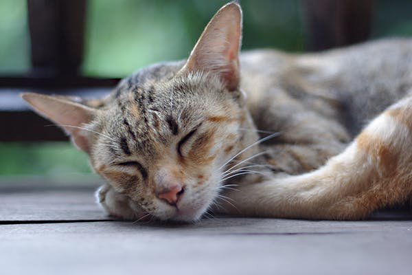 Low Platelet Count in Cats - Symptoms Causes Diagnosis ...
