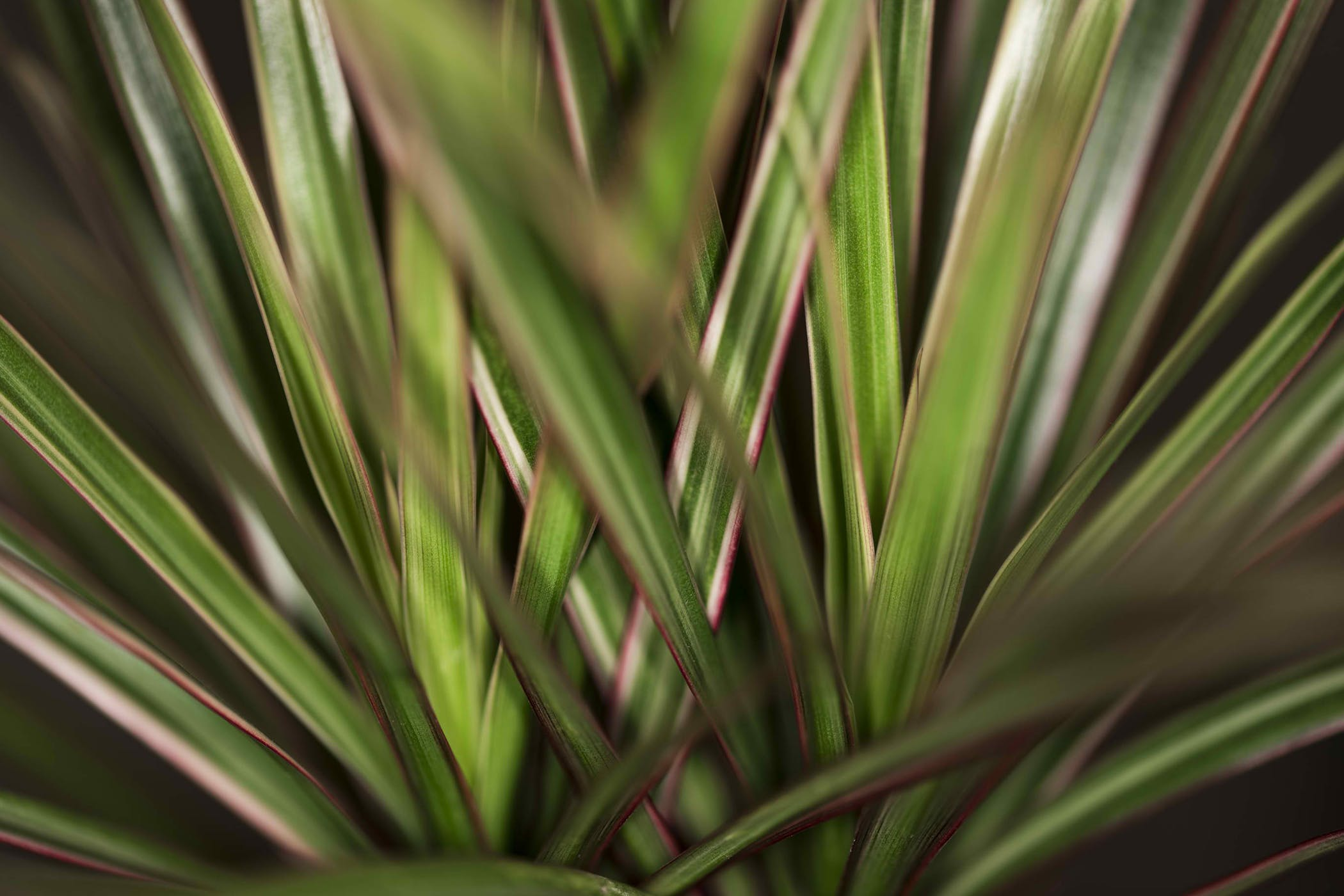 straight margined dracaena poisoning