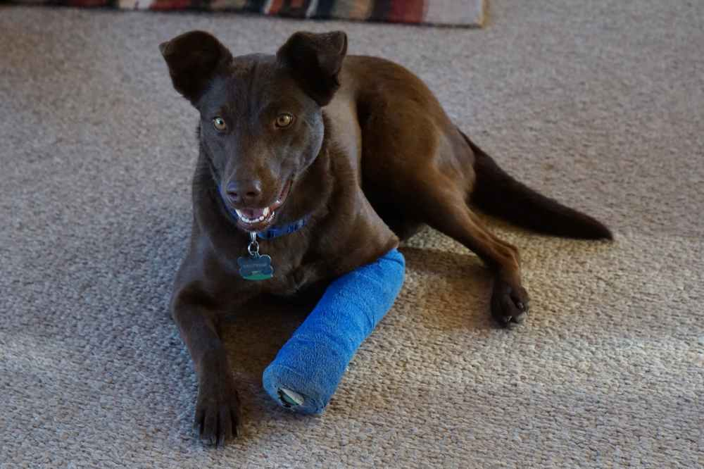 medium resolution of casting and splinting in dogs