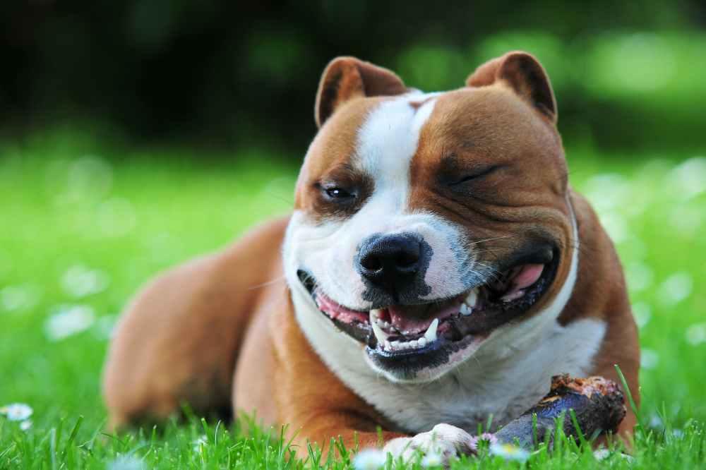medium resolution of craniomandibular osteopathy lion jaw in dogs