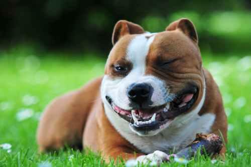 small resolution of craniomandibular osteopathy lion jaw in dogs