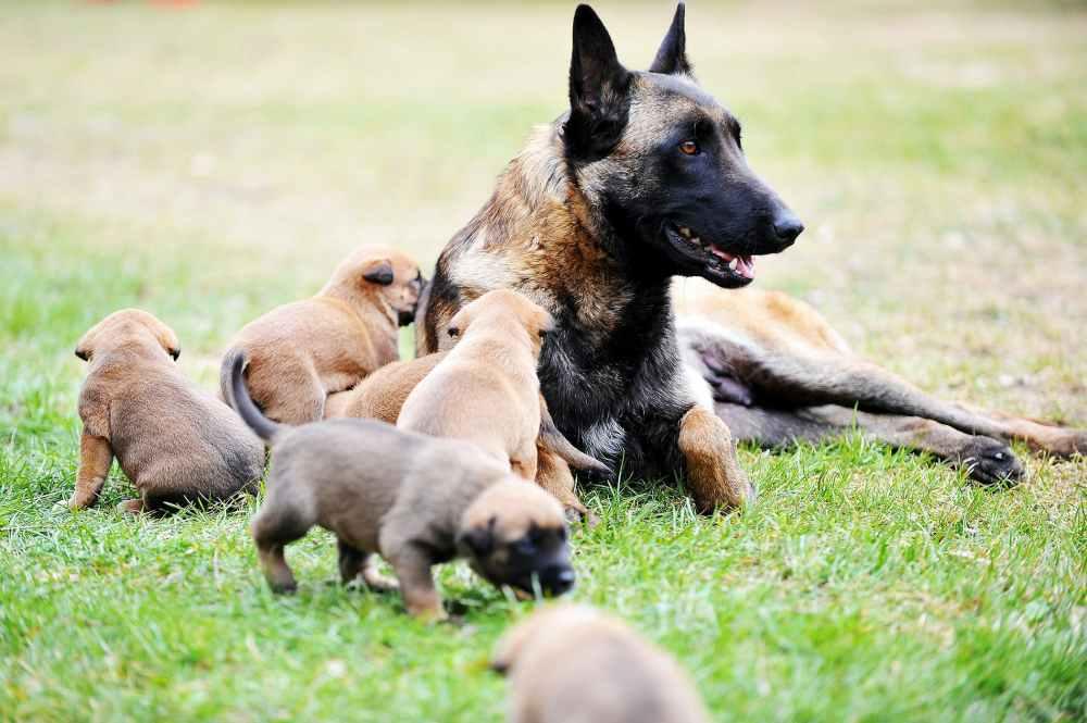 medium resolution of mammary gland tumor in dogs