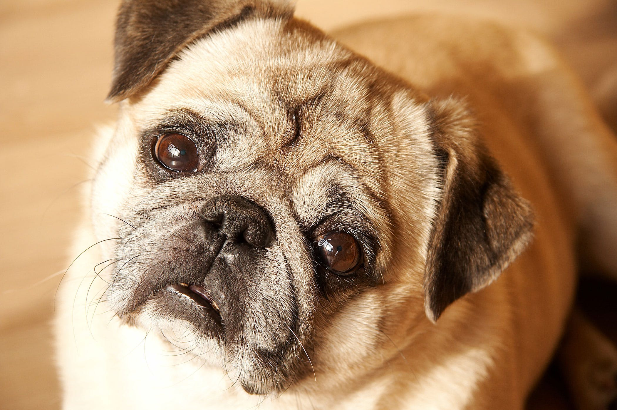 Meloxicam Poisoning in Dogs  Symptoms Causes Diagnosis