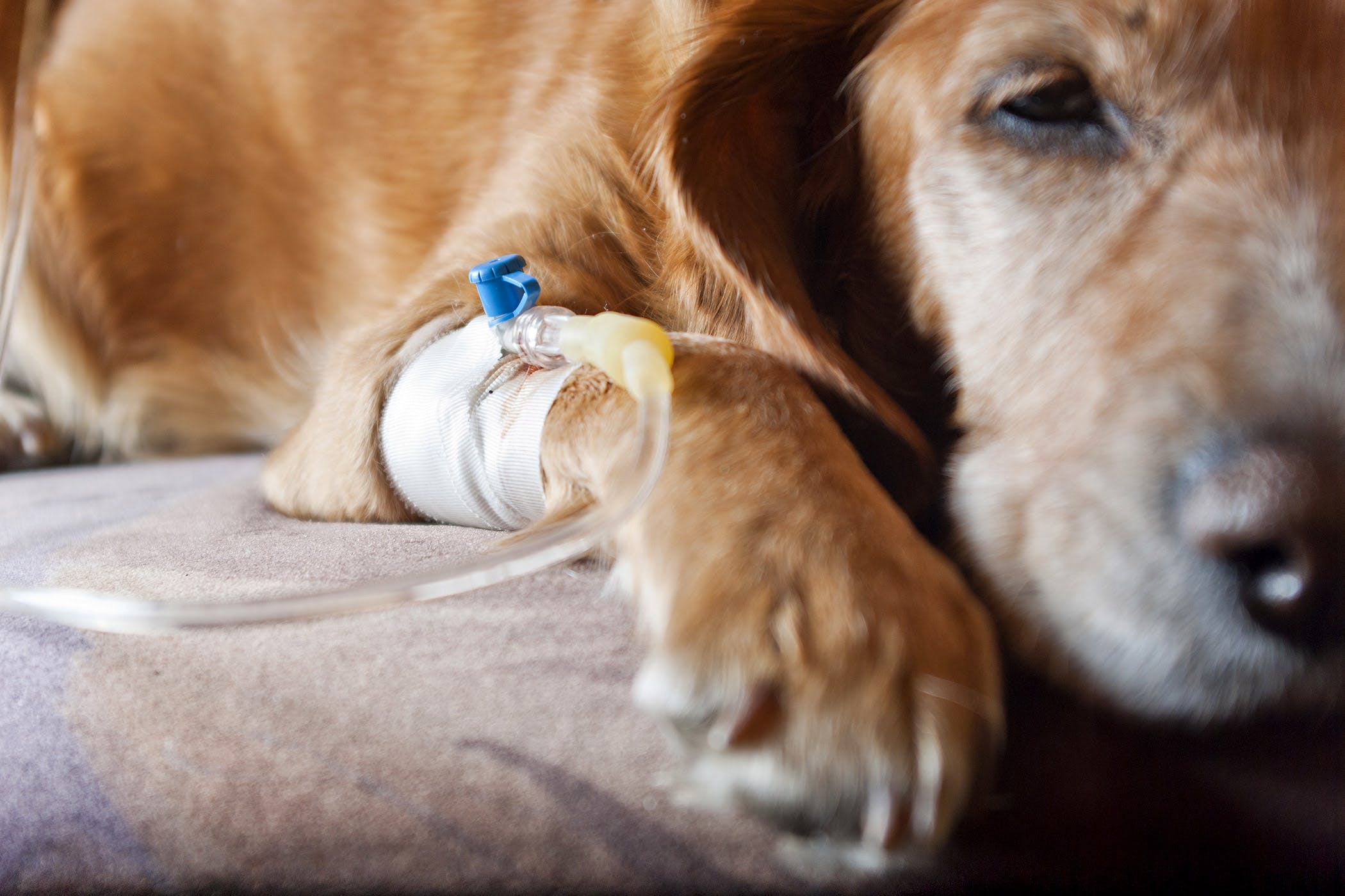 miscarriage in dogs symptoms