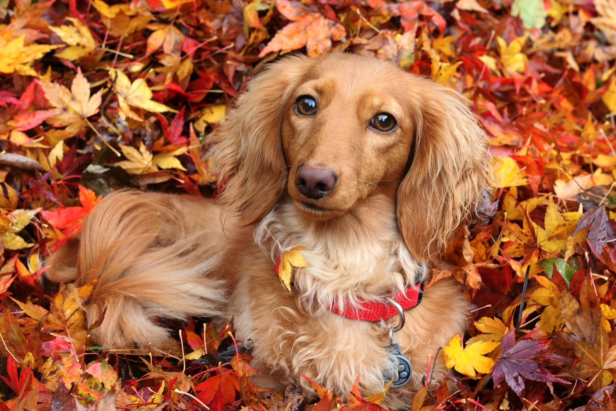 Cute Dachshund Wallpaper Natural Urinary Tract Infection Remedies In Dogs