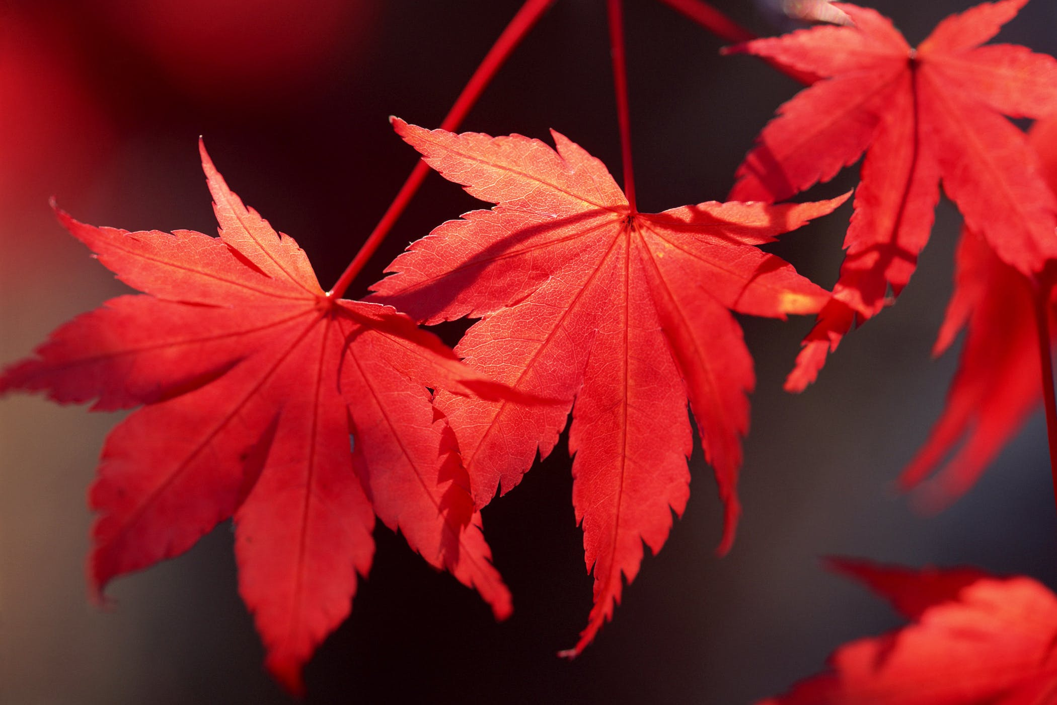 Red Maple Poisoning In Horses Symptoms Causes Diagnosis Treatment Recovery Management Cost