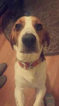 Beagle Bark Training