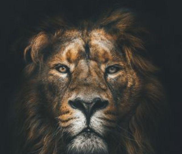 Preview Wallpaper Lion Muzzle Mane Lo D Be D Ba Predator