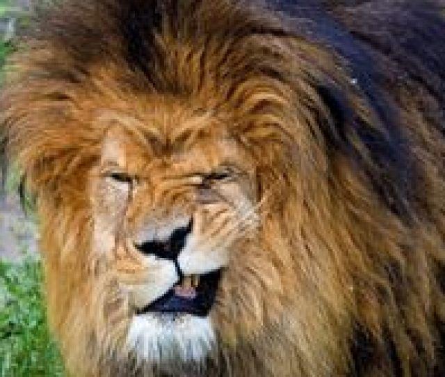 Lion Wallpapers Backgrounds Images Best Lion Desktop Wallpaper Sort Wallpapers By Ratings