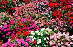 florais para combater stress: Impatiens