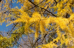florais para combater stress: Larch