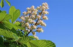 florais para combater stress: Sweet Chestnut