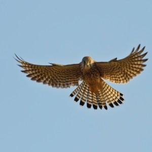 Oroscopo sciamanico: falco