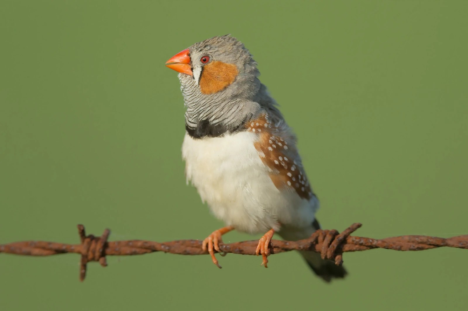 https://i0.wp.com/images.wikia.com/birds/images/e/eb/Zebra-finch-0008.jpg