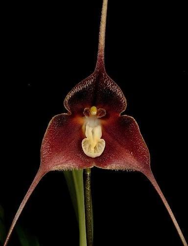 https://i0.wp.com/images.wikia.com/orchids/en/images/e/ed/Dracula_brangeri.jpg