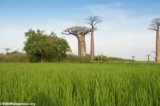 Baobás com arrozais (Morondava)