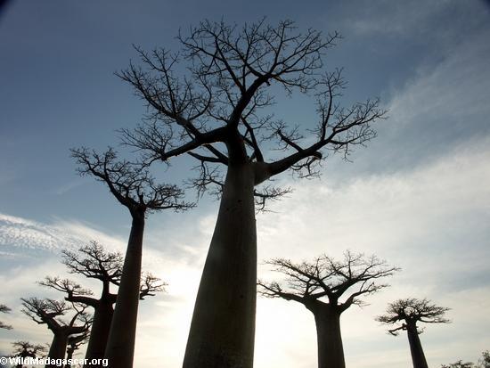 Baobabs(Morondava)
