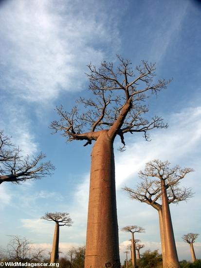 Baobás (Morondava)