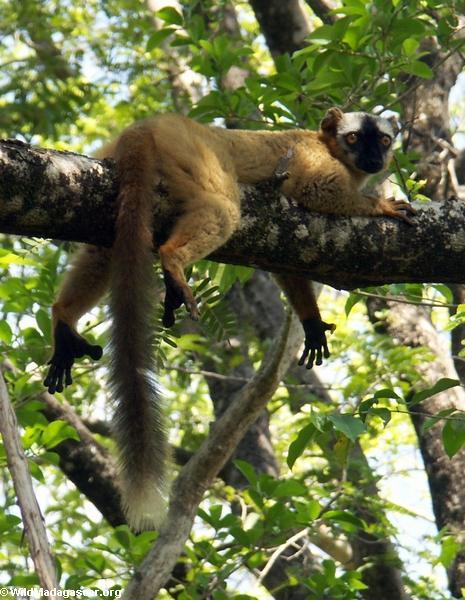 Red-fronted brown lemur  (Tsingy de Bemaraha)