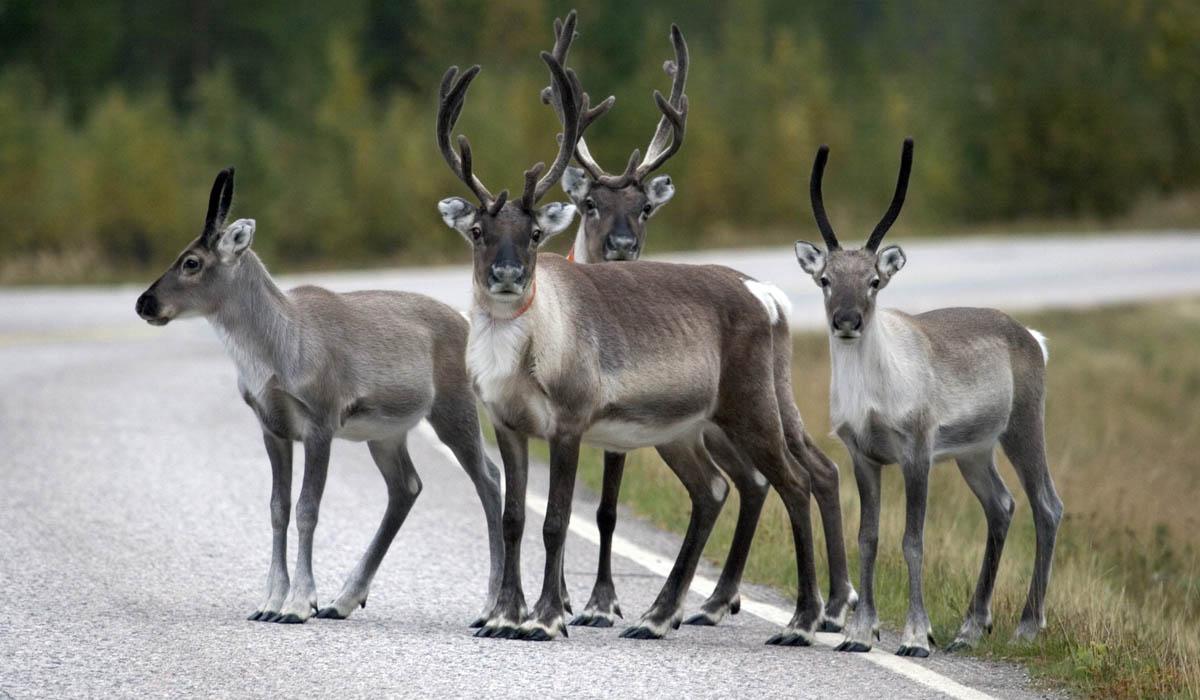 Corna riflettenti cos la Finlandia difende le renne