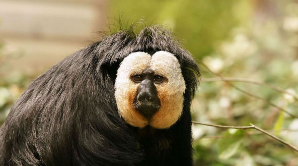 Scimmia Saky