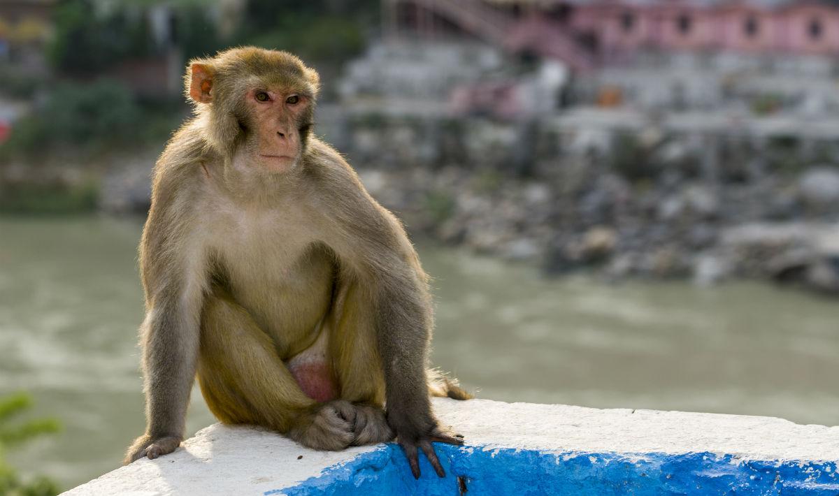 Una scimmia ha mosso una sedia con il pensiero  Wired