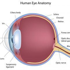 Simple Human Eye Diagram Bone Cross Section For Kids Photo 6