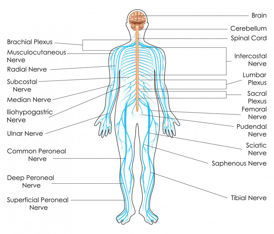 diagram of sciatic nerve leg honeywell motorised valve wiring what is the myenteric plexus? (with pictures)