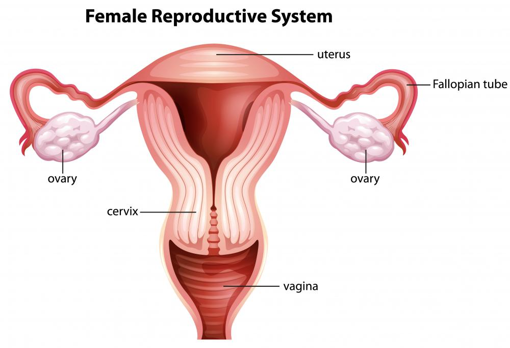 human cell wall diagram labeled 3800 engine cooling system what is the uterine horn? (with pictures)