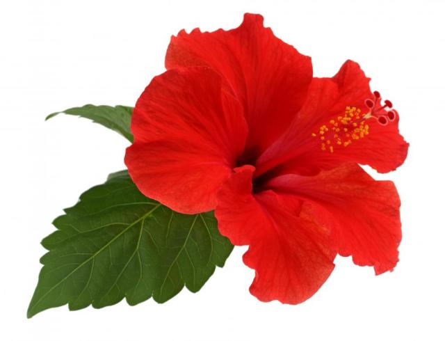 Hibiscus produces beautiful flowers indoors if cared for properly.