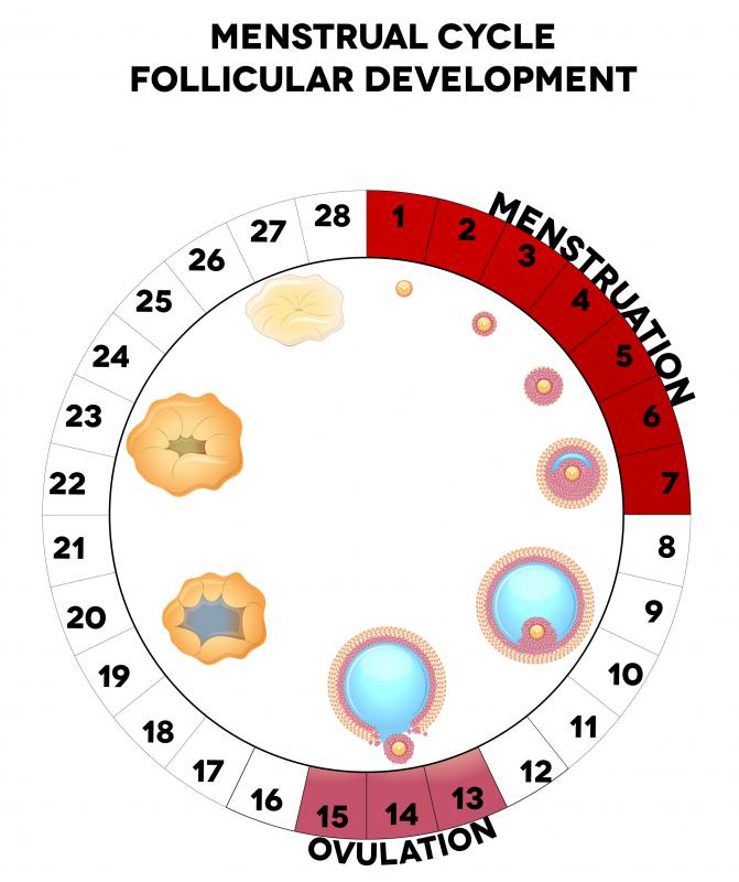 menstrual cycle time frame | Allframes5.org