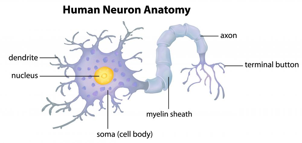 Image result for neuron diagram synaptic terminal