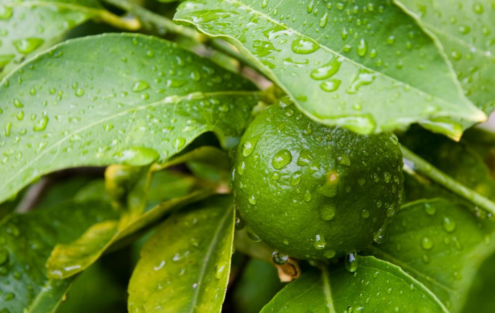 Image result for lime tree