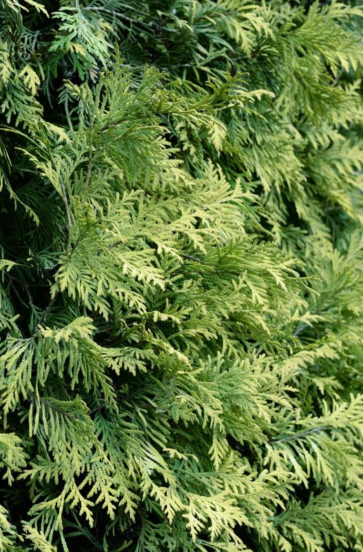What are Juniper Shrubs with pictures