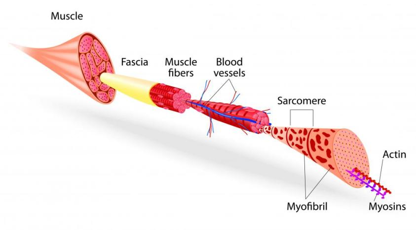 What are the Different Muscle Tissue Types? (with pictures)