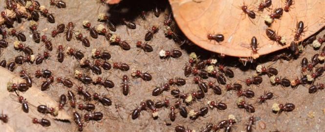 Adult Workers And Brood Larvae Pupae Of The Florida Carpenter Ant