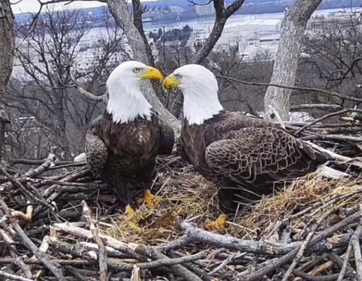 (Earth Conservation Corps via AP). This March 4, 2019, image from video provided by Earth Conservation Corps Eagle Cam, shows Bald Eagles Liberty and Justice on their nest in Washington. It's a tale containing seemingly everything you'd need for a prop...
