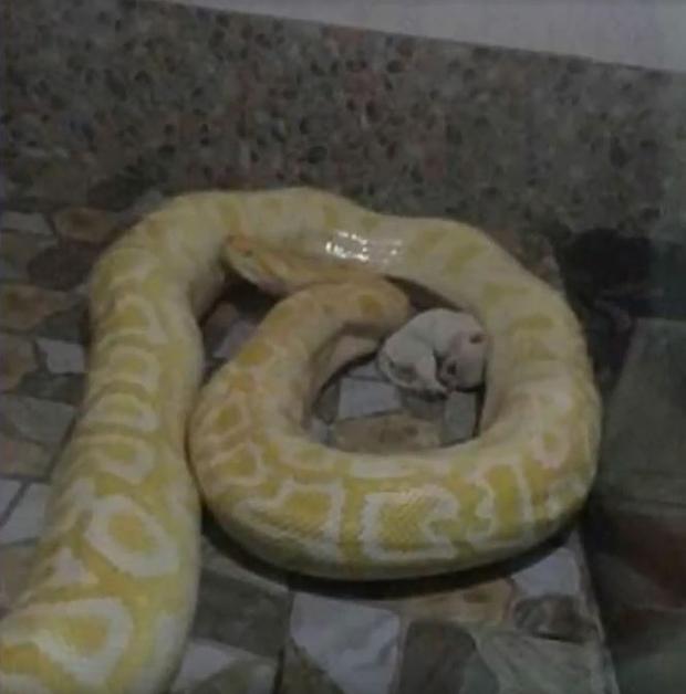 Schock-Bilder: China-Zoo verfüttert Welpen an Python