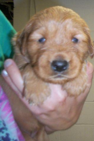 Dark Red Golden Retriever Puppies For Sale : golden, retriever, puppies, Female, Dark/red, Golden, Retriever, Puppies!, English, Lake,, Indiana, Classified, AmericanListed.com