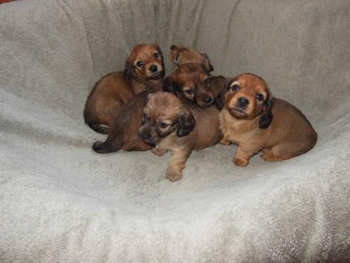 AKC Long Hair English Cream Mini Dachshund Puppies For