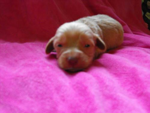AKC Miniature Long Haired Dachshund Puppies For Sale In