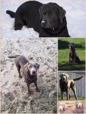 Silver Lab Puppies Oregon : silver, puppies, oregon, Silver, Puppies, Roseburg,, Oregon, Classified, AmericanListed.com
