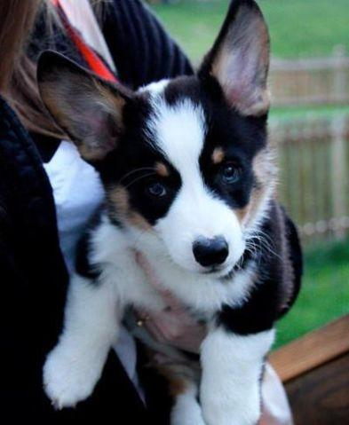 Corgi Puppies For Sale In California : corgi, puppies, california, Corgi, Puppies