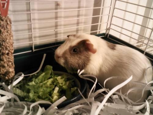 Baby Guinea Pigs Sale
