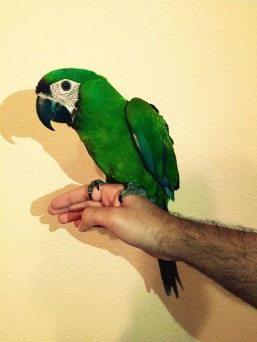 baby severe macaw mini